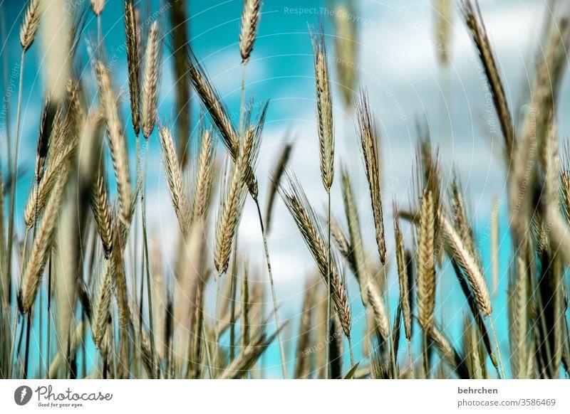 lebensnotwendig | getreide ökologisch Granne Idylle idyllisch Ackerbau Außenaufnahme Ernte Ernährung Pflanze Nutzpflanze Umwelt Landschaft Menschenleer