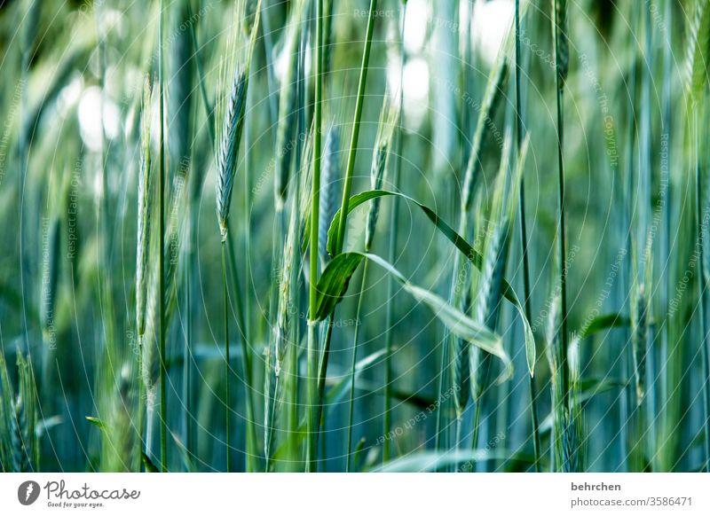 oder auch zwei;)) Feld Getreide Getreidefeld Gerste Roggen Weizen Hafer Sommer Landwirtschaft Ähren Natur Kornfeld Lebensmittel Ernährung Pflanze Nutzpflanze
