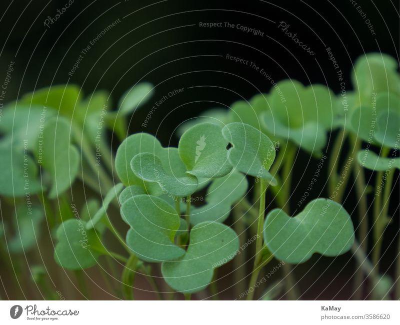 Nahaufnahme von Keimlingen Aussaaten Pflanzen Makro Setzlinge Landwirtschaft Gärtnern freigestellt Natur grün viele mehrere horizontal Garten Gartenarbeit