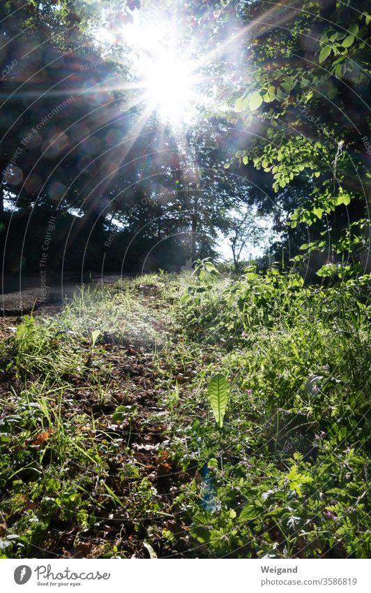 Wegrand im Gegenlicht Löwenzahn Sonne Sonnenstrahlen grün Wiese Wald Wandern Natur beobachten Sonnentag Licht