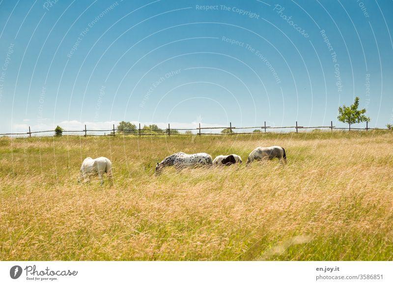 Pferde auf der Weide Pferdekoppel Wiese Gras Zaun Idylle blauer Himmel schönes Wetter grasen grasende Pferde fressen weiden Fohlen Fressen Tier Tiergruppe Natur