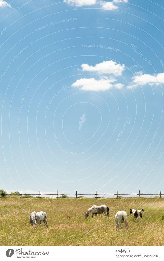 Pferde auf der Weide Pferdekoppel Wiese Zaun Idylle Himmel blauer Himmel schönes Wetter Wolken Textfreiraum oben Landschaft Landwirtschaft grasen
