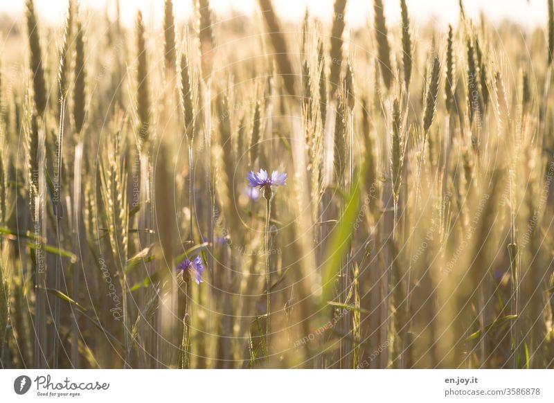 Kornblumen im Weizenfeld Kornfeld Getreide Getreidefeld Ähren agrar Landwirtschaft Ernte Feld Sommer Natur Nutzpflanze Wachstum Ackerbau Pflanze Lebensmittel