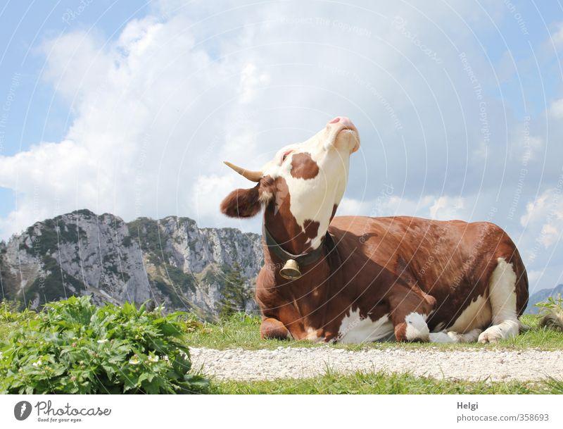 AST6 Inntal   Genießerin... Umwelt Natur Pflanze Tier Himmel Wolken Frühling Schönes Wetter Gras Berge u. Gebirge Gipfel Nutztier Kuh 1 Glocke genießen liegen