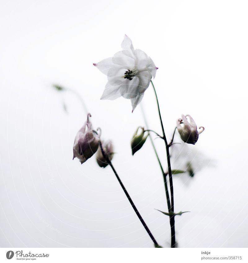 Glockenblume Natur schön weiß Sommer Pflanze Blume Frühling Blüte natürlich hell Wachstum einfach Blühend Blütenknospen
