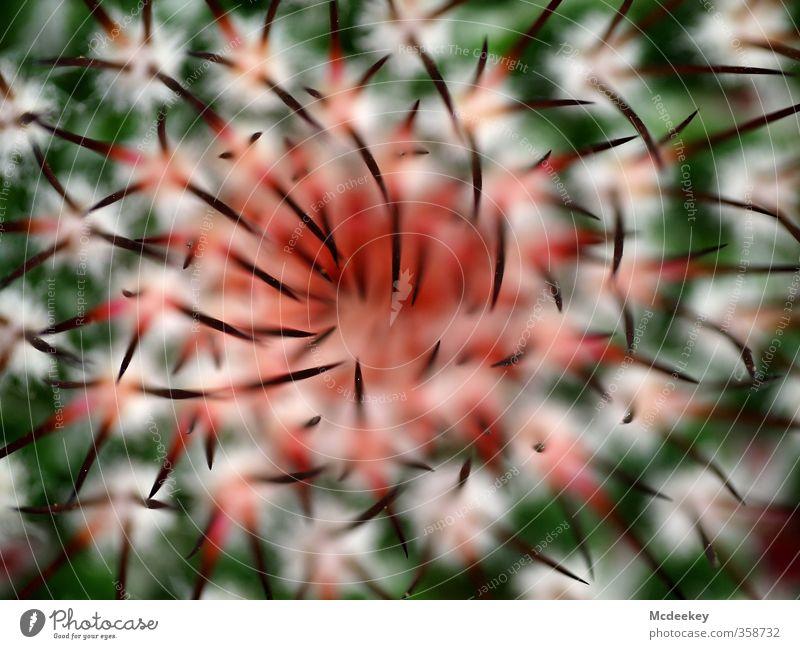 natural tusks Natur Pflanze Sommer Kaktus Wildpflanze exotisch Park bedrohlich natürlich Spitze stachelig braun mehrfarbig grau grün orange rot schwarz weiß