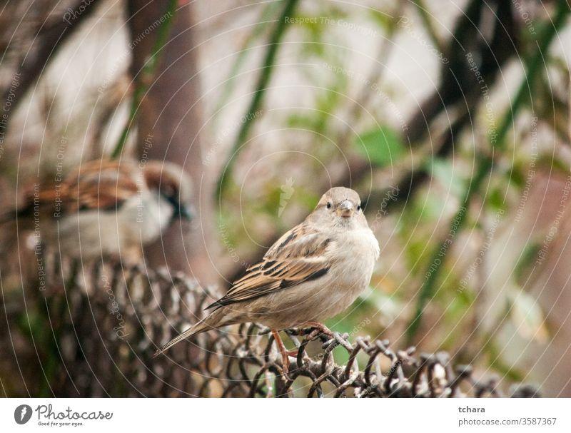 Kleiner brauner Spatz auf Metallzaun Porträt eurasischer Feldsperling Nahaufnahme Nahaufnahmen Sitzgelegenheit Hinterhof Flügel Essen Vogel im Gras