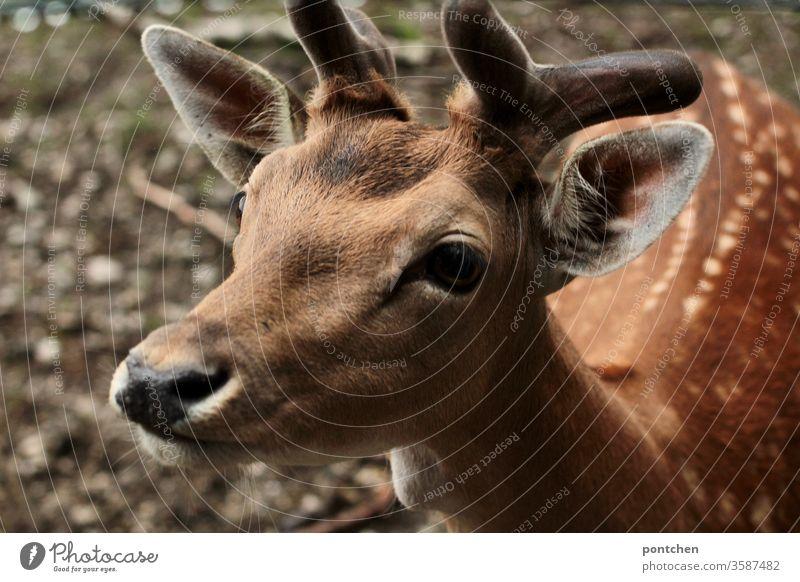 Nahaufnahme eines Jungen  Rehbocks. Tierwelt, Wildtier. Bambi rehbock wildtier tierliebe tierschutz bambi Natur Säugetier Tierporträt Rehkitz