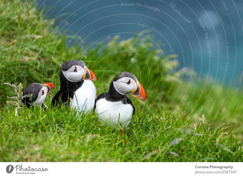 Papageitaucher (Fratercula arctica) auf Mykines, Färöer-Inseln. Dänemark. Europa Porträt Vögel lustig im Freien Familie Fischen Wales Klippen Kanada