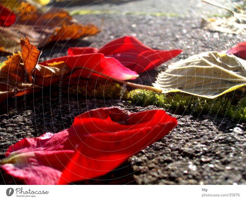 Herbstlaub Licht Rosenblätter Blatt rot intensiv Sonne Beleuchtung Stein Farbe Moos