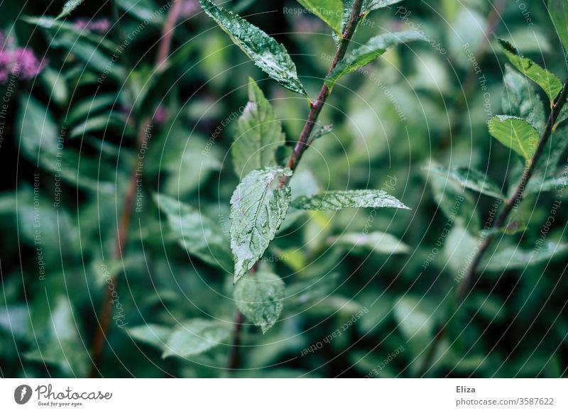 Nasse grüne Blätter einer Pflanze draußen in der Natur bei Regen nass Tropfen Strauch feucht Regenwetter Blatt