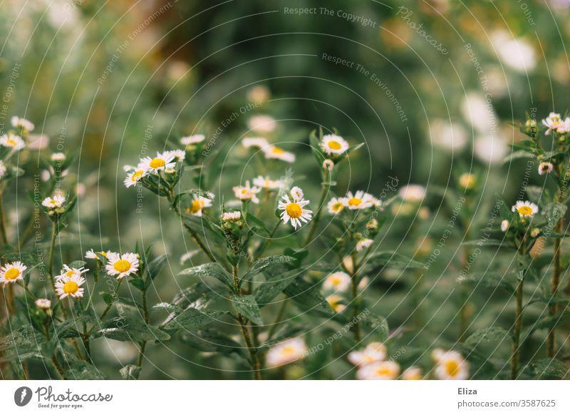Leider kein Mohn :( Blumen Wildblumen Frühling Blüte Pflanze Natur Blühend Garten draußen gelb weiß Sommer Wiese
