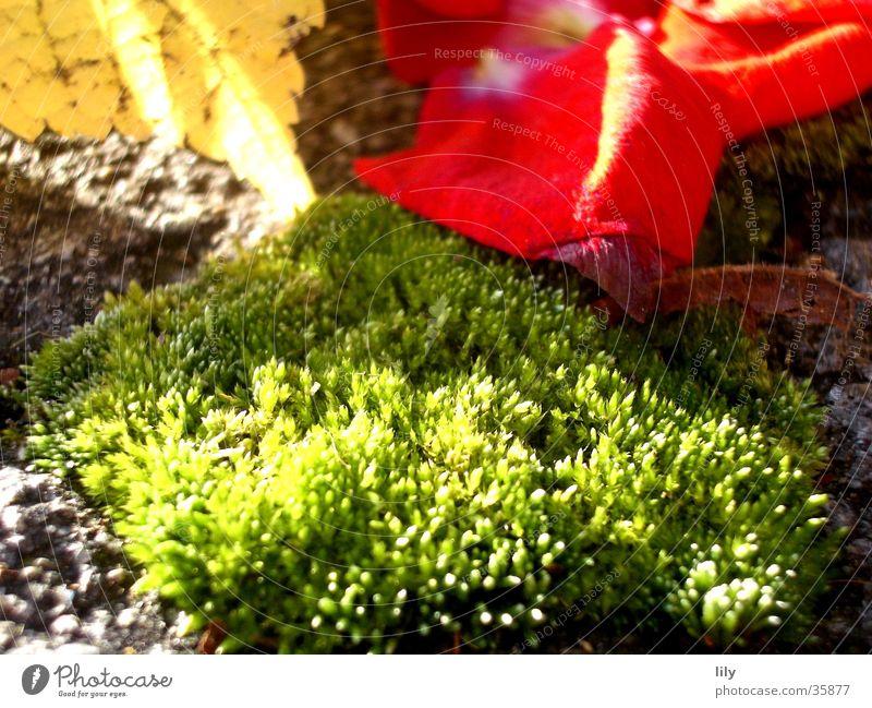 Rosenmoos Rosenblätter Blatt Herbstlaub Licht rot grün Sonne Beleuchtung Moos
