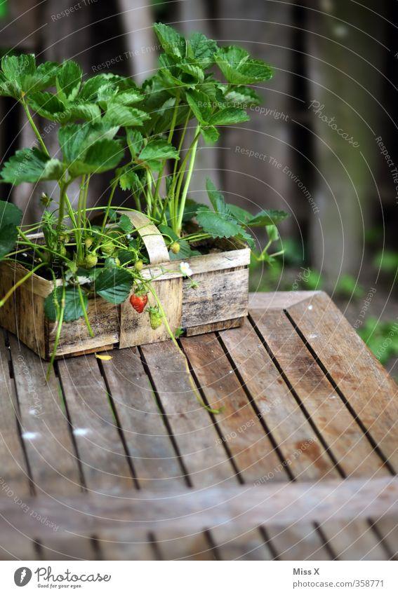Eine Erdbeere klein Garten Lebensmittel Frucht Wachstum Tisch Ernährung süß Ernte lecker Bioprodukte Gartenarbeit Korb Erdbeeren anbauen unreif