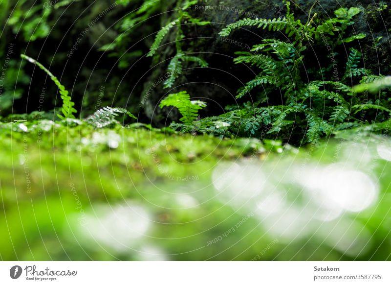 Frisches grünes Moos und Farne mit Wassertropfen wachsen im Regenwald Wurmfarn Blätter Tau Natur frisch Makro Garten Wald Tropfen nass Algen üppig (Wuchs)