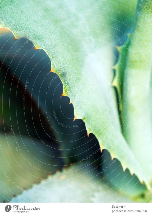 Sukkulente Pflanze Nahaufnahme, Dorn und Detail an Blättern der Agavenpflanze Stachel Blatt grün weiß Wachs silberfarben grau schön Natur Textur symmetrisch