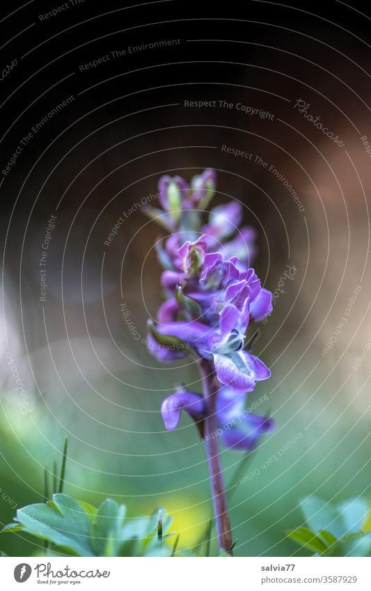 blaue Schönheit, der Lerchensporn Blume Natur Blüte Pflanze Nahaufnahme Frühling blau lila grün Frühblüher schön Garten blühen Duft Corydalis natürlich