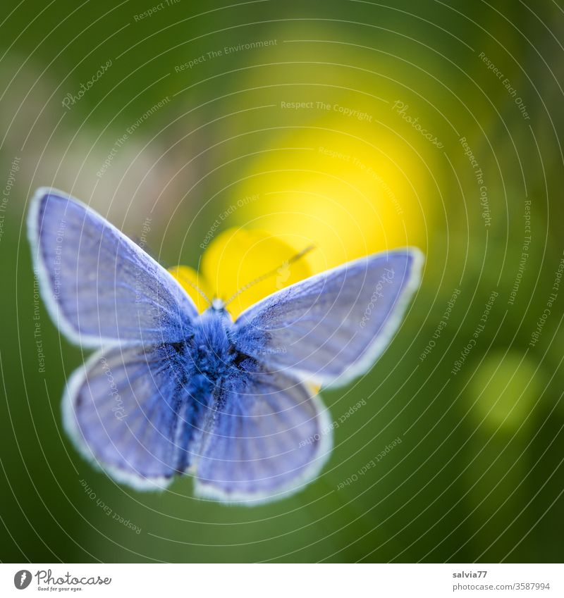 Symmetrie | Schmetterlingsflügel Natur Bläulinge Pflanze Blüte Tier 1 Insekt Farbfoto Tierporträt Flügel Schwache Tiefenschärfe Leichtigkeit Sommer