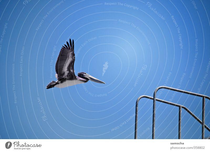 durch die Lüfte Sommer Sommerurlaub Sonne Meer Umwelt Natur Tier Luft Himmel Wolkenloser Himmel Wildtier Vogel Flügel 1 fliegen Pelikan Vogelflug fliegend