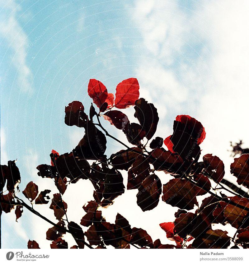 Blattgrün Blattrot Himmelblau Blätter Ast Äste Außenaufnahme Farbe Farbfoto Analogfoto analog menschenleer Umwelt Natur Schönes Wetter