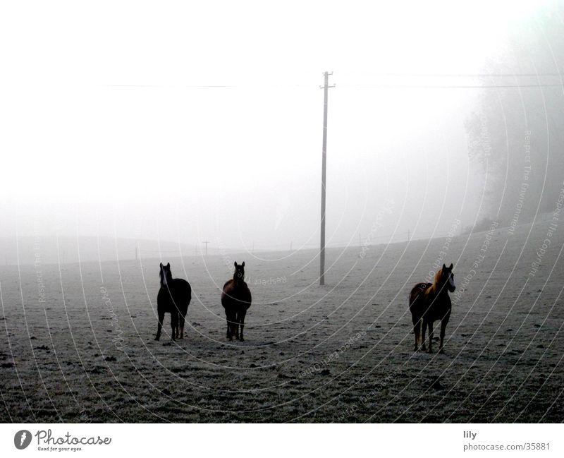Pferde im Nebel Freiheit Glück Stimmung Frost geheimnisvoll Neugier Weide Raureif Wintermorgen
