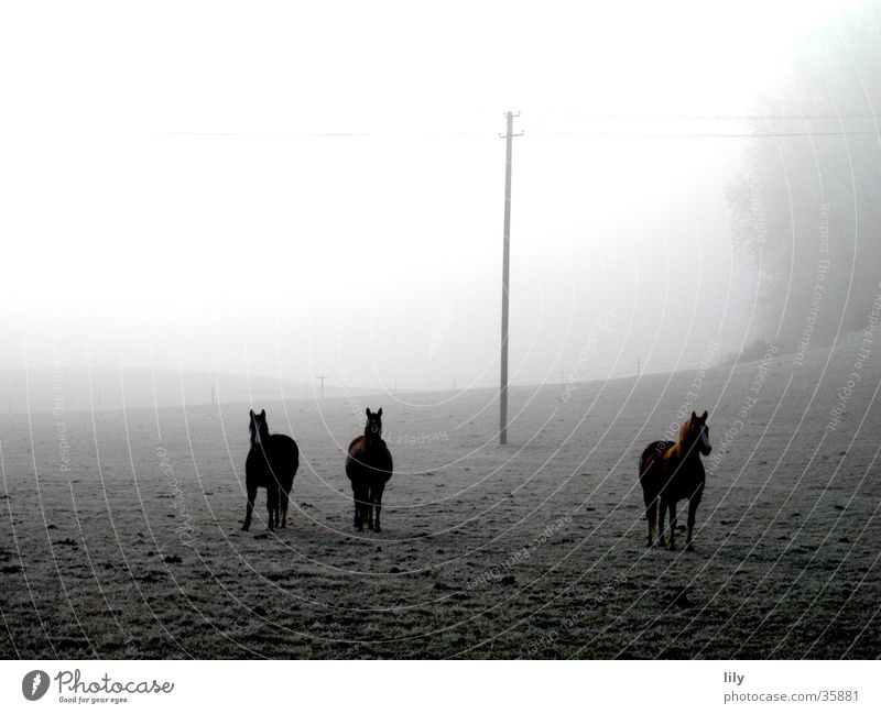 Pferde im Nebel Freiheit Glück Stimmung Nebel Pferd Frost geheimnisvoll Neugier Weide Raureif Wintermorgen