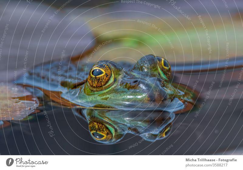 Teichfrosch im Wasser Frosch Pelophylax Wasserfrosch Kopf Gesicht Augen Maul Nase See Wasseroberfläche schwimmen Spiegelung Spiegelbild Reflexion Blick