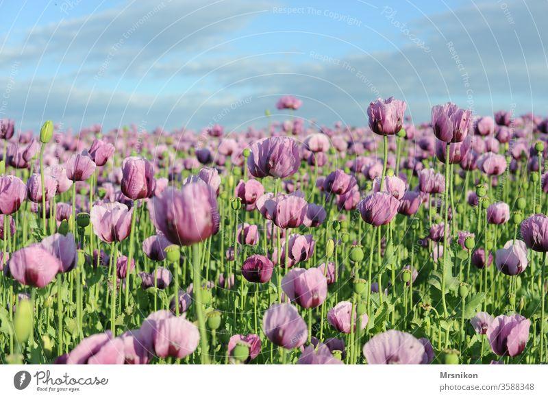 rosa Mohnfeld mohnblumen Mohnkapsel Mohnblüte backmohn Sonnenuntergang Abenddämmerung Feld Feldfrüchte Horizont draußensein Landschaftsformen nutzung