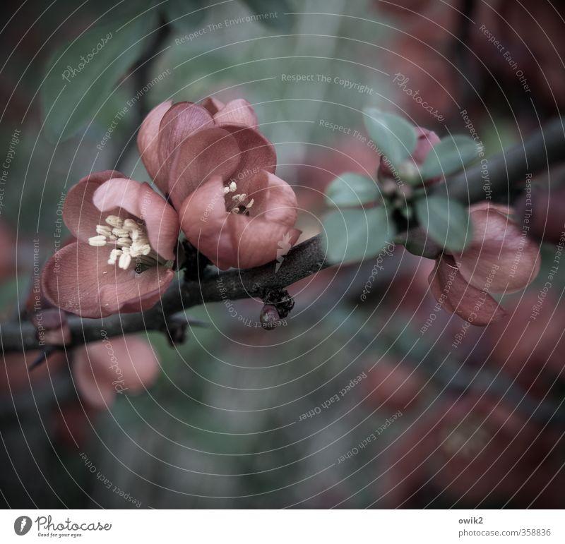Fleur rouge Umwelt Natur Pflanze Frühling Klima Wetter Blüte Wildpflanze dunkel schön klein nah Zweig Blütenblatt Pollen Farbfoto Gedeckte Farben Außenaufnahme