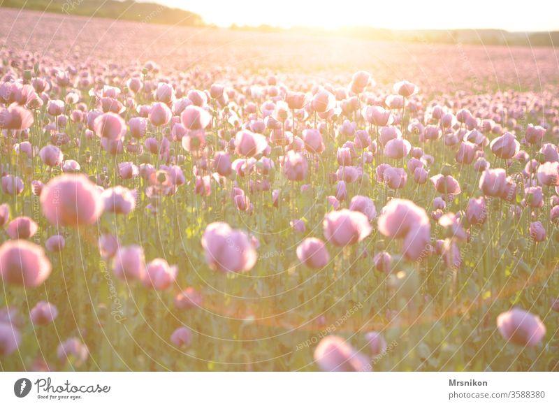 Abendstimmung im Mohnfeld mohnblumen Mohnkapsel rosa Mohnblüte backmohn Sonnenuntergang Abenddämmerung Feld Feldfrüchte Horizont draußensein Landschaftsformen