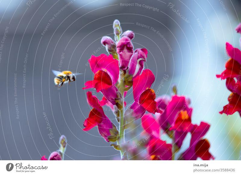 summ, summ, summ Biene Bienenzucht Bienensterben Imkerei Insekt Honigbiene Sommer Natur sammeln Blume Bauernorchidee Pollen Pflanze Blüte Frühlingsgefühle