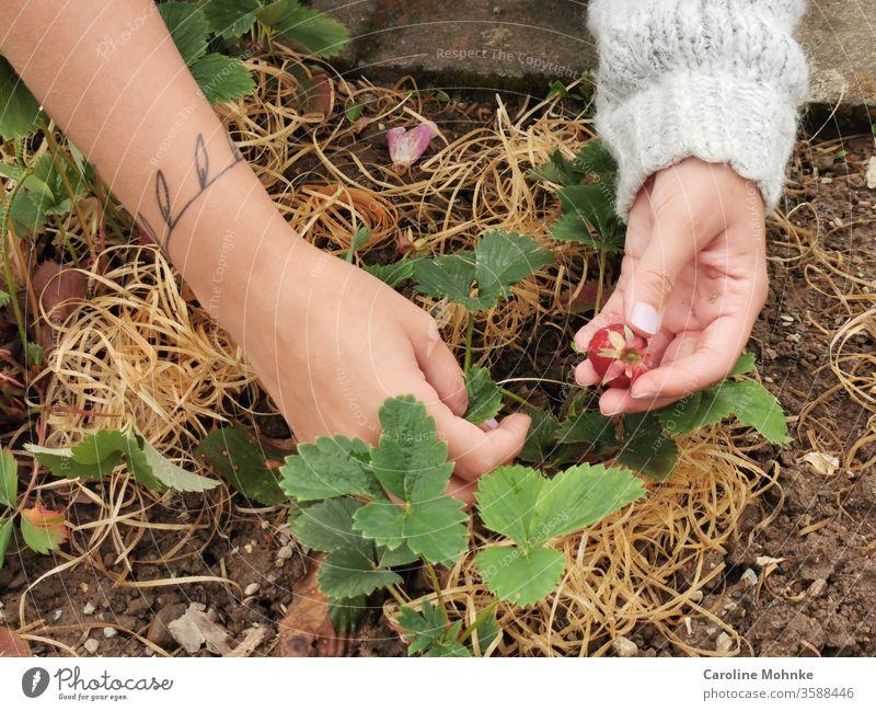 Erdbeeren pflücken Frucht Ernährung Lebensmittel Vegetarische Ernährung Farbfoto Bioprodukte Gesunde Ernährung Nahaufnahme Frühstück Design Sommer Diät Stil