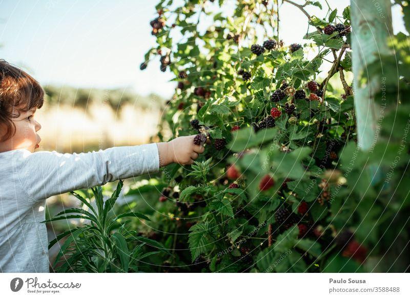 Kind pflückt Brombeeren Brombeerbusch Beeren Bioprodukte Frische Frucht Farbfoto Nahaufnahme Ernährung Natur Lebensmittel Sommer lecker Vegetarische Ernährung