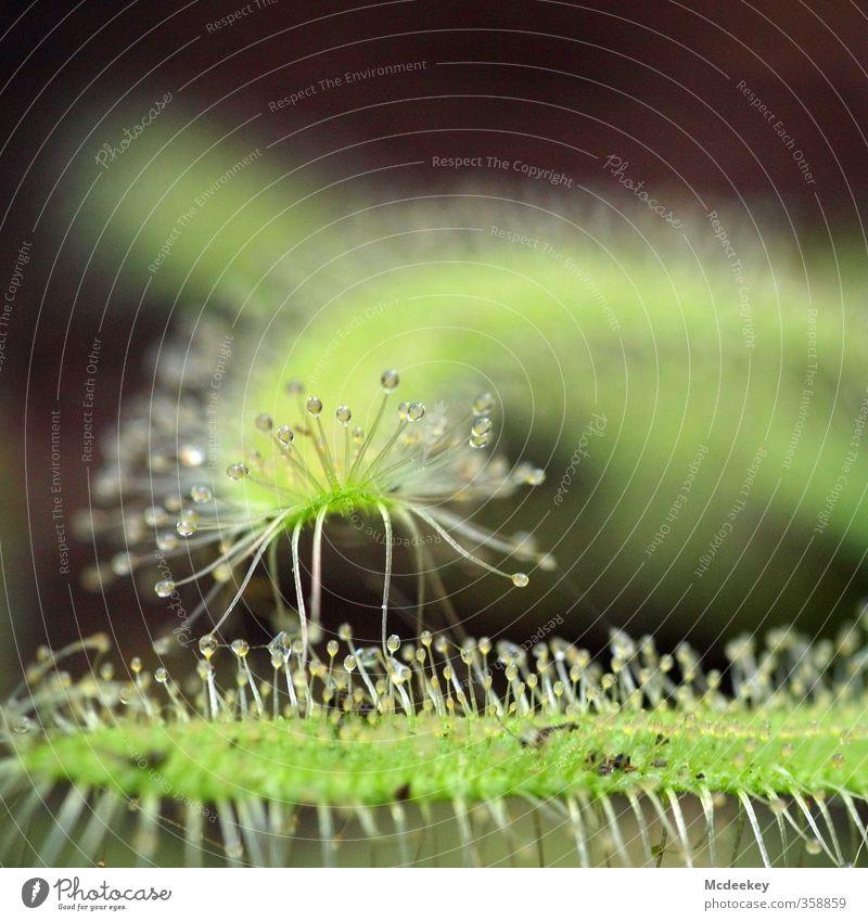 heavenly tears (6) Umwelt Natur Pflanze Wasser Wassertropfen Gras Blatt Wildpflanze exotisch kalt nass natürlich rund braun mehrfarbig gelb grau grün schwarz