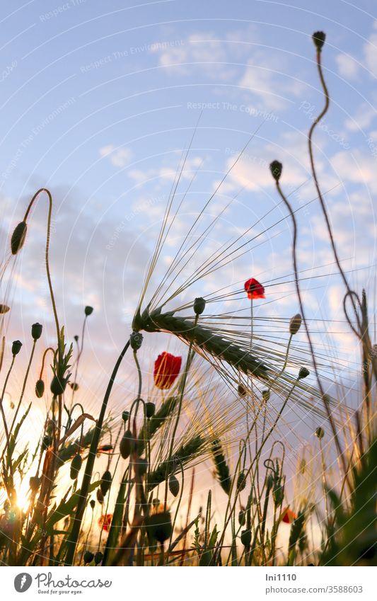 Gerstenfeld mit Mohn in der Abendsonne vor blauem Himmel mit Wölkchen Feld Feldrand Mohnblüten Klatschmohn Getreide Licht blaue Stunde angestrahlt blauer Himmel