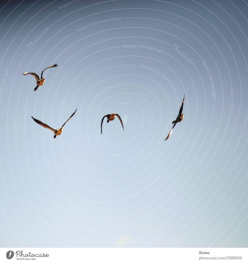 Über den Wolken Vogel Vögel Tier Wildtier Möwe fliegen fliegende Vögel Luft in der Luft Himmel Wolkenloser Himmel blau Bewegung Flügel Freiheit Natur