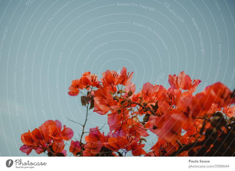 Bougainvillea-Blume gegen den Himmel Blumen copyspace Textfreiraum oben farbenfroh Farbe Hintergrund Blüte schön geblümt Natur grün Blütezeit Pflanze natürlich
