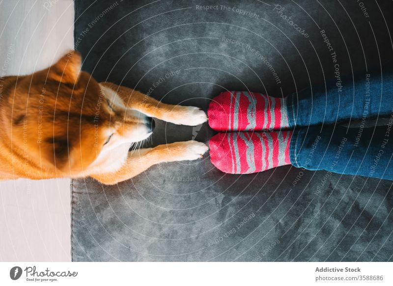 Nutzpflanzenfrau mit Hund ruht sich zu Hause aus Frau Besitzer shiba inu Haustier Begleiter Freizeit Wochenende Sofa jung Jeanshose Streifen Kniestrümpfe