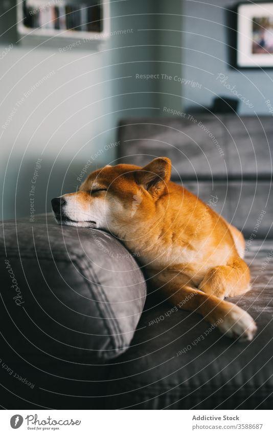Süßer Rassehund auf dem Sofa liegend bezaubernd shiba inu Hund Haustier Begleiter Reinrassig Lügen gemütlich Raum modern Appartement Plüsch grau weich