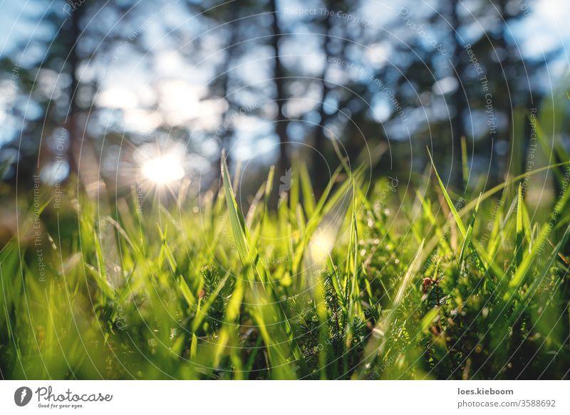 Nahaufnahme eines Waldes mit Gras und jungen Immergrün während des Sonnenuntergangs in einem Wald, Mieminger Plateau, Österreich Pflanze Licht Waldgebiet Natur
