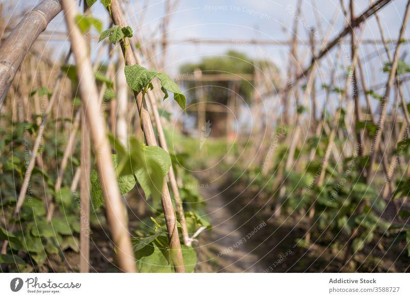 Im Garten wachsende grüne Kletterpflanzen Pflanze Bauernhof Ständer Blatt Aufstieg frisch Agronomie kultivieren Boden fruchtbar Ackerbau Vegetation botanisch