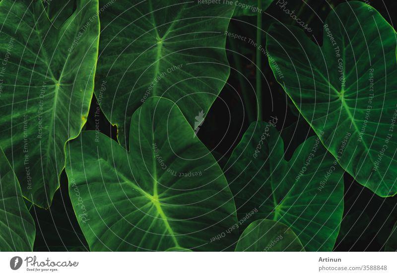 Grüne Blätter von Elefantenohren im Dschungel. Grüne Blatttextur mit minimalem Muster. Grüne Blätter im Tropenwald. Botanischer Garten. Grüne Tapete für Spa oder psychische Gesundheit und Geistestherapie.