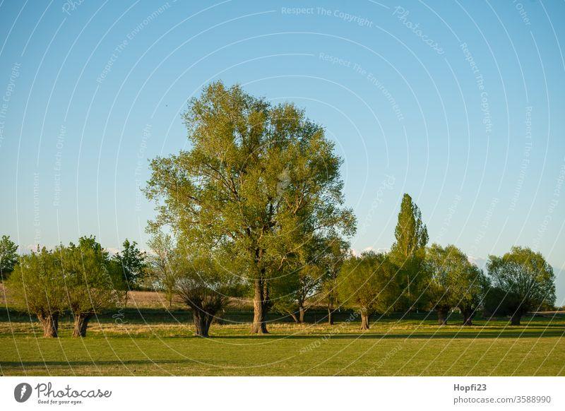 Weiden Baumgruppe weide weiden korbweide baum Laubbaum Sommer sonne Sonnenschein grün Himmel blau Wolkenloser Himmel groß alt Natur Außenaufnahme Landschaft