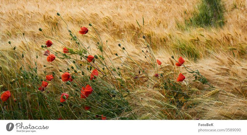 Getreidefeld mit Mohnblumen Kornfeld Sommer mohnblumen rot gelb grün Landwirtschaft Umwelt Natur Gerstenfeld