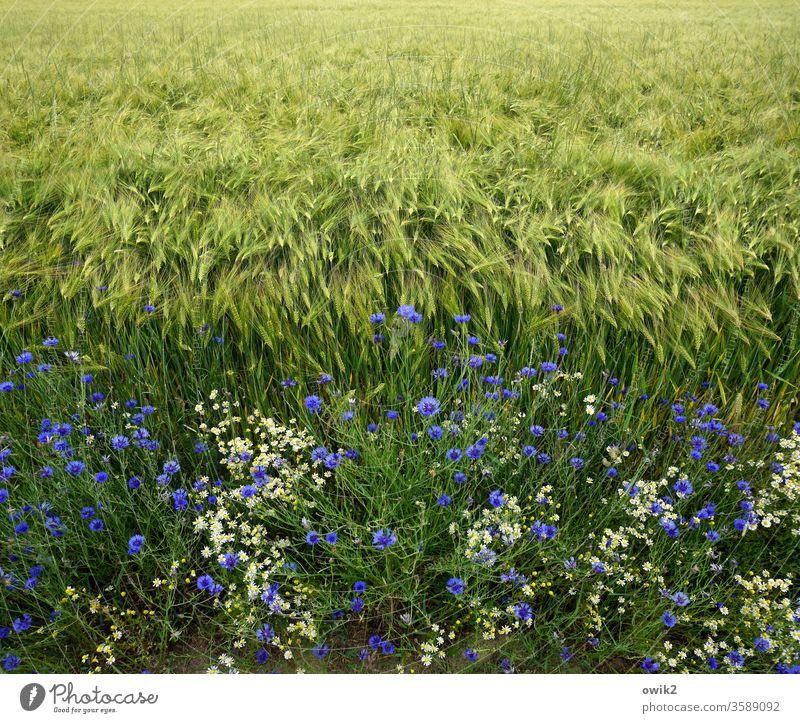 Korn und Blumen Feld Acker Feldrand Getreide Kornfeld Kornblumen Natur Landwirtschaft Getreidefeld grün Pflanze Außenaufnahme Landschaft Umwelt Nutzpflanze