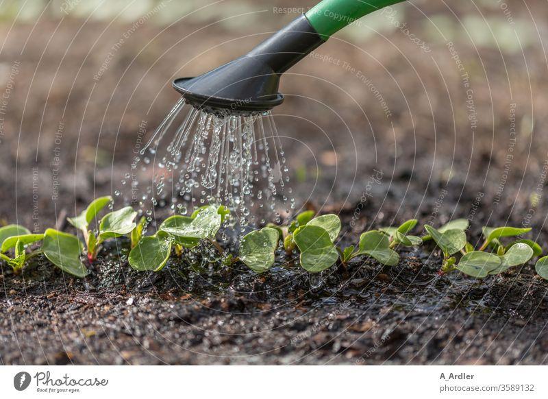 Jungpflanzen werden gegossen Erde Frühjahr Garten Gartenarbeit Gießkanne Makro Nahaufnahme Nahrung Natur Pflanzen Regen Regenwasser Sämlinge Tropfen Wachstum
