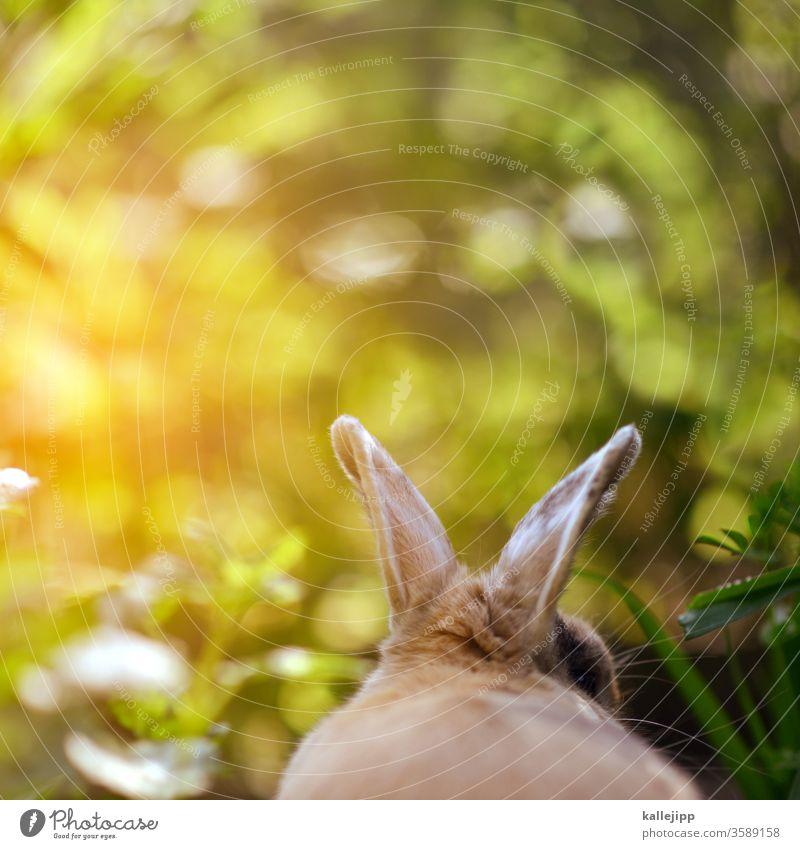 kleinohrhasen Hase & Kaninchen Hasenohren kaninchenohren Osterhase Farbfoto Außenaufnahme Haustier Menschenleer Fell Tiergesicht Säugetier Natur braun Ohr Tag 1