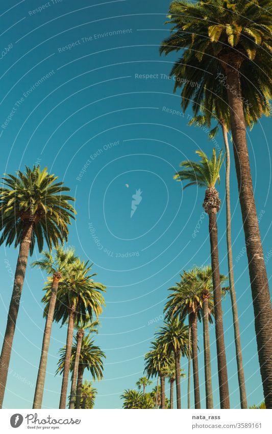 Hohe Palmen von Beverly Hills in Los Angeles r Handfläche Bäume Straße La Baum Kalifornien retro blau Himmel reisen Ansicht Sonne Tourismus USA Laufwerk berühmt