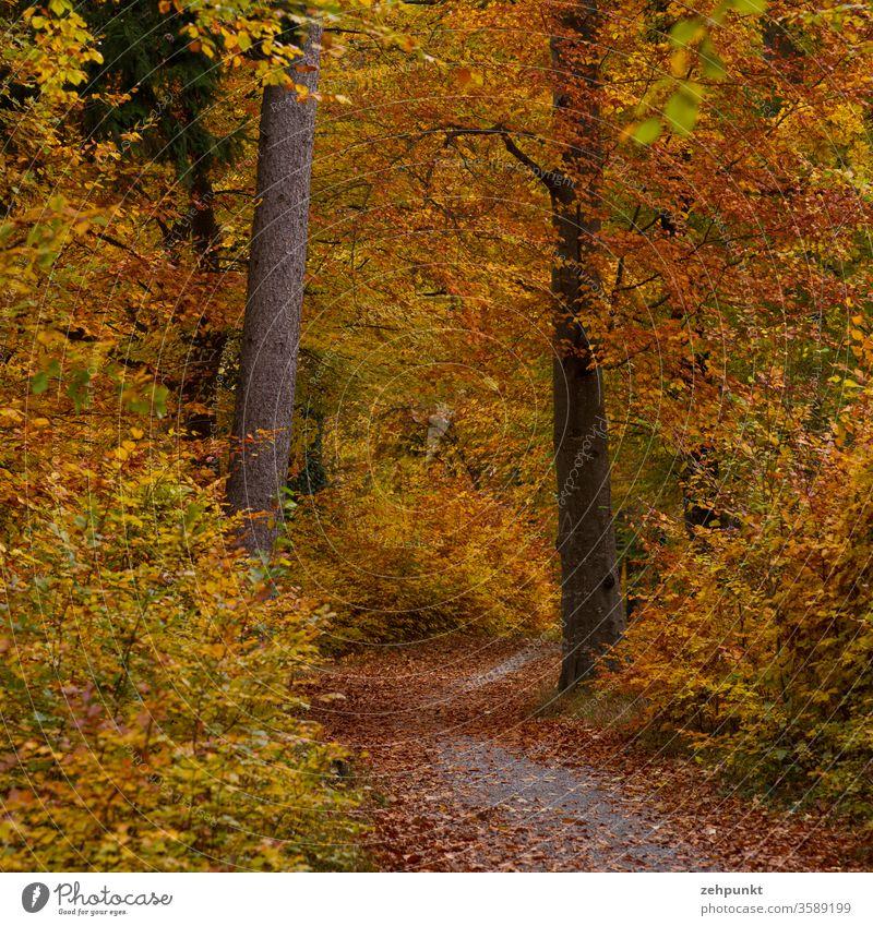 Ein weitgehend mit Blättern bedeckter Weg kurvt durch den farbigen Herbstwald Herbstlaub Herbstfärbung Waldweg Baum goldener herbst November herbstlich