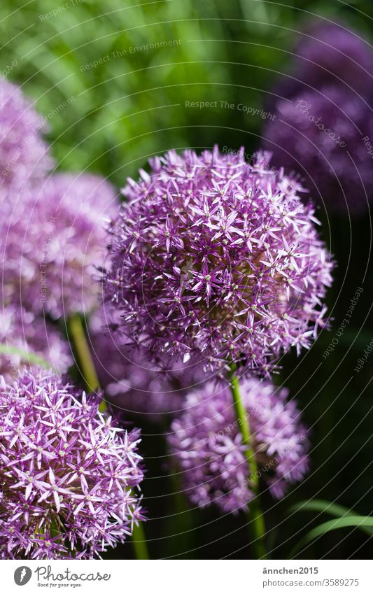 Blüten eines Riesenzierlauchs Allium blüte Zierlauch violett blühend Pflanze Blume Farbfoto Menschenleer Garten Frühling Natur Außenaufnahme Blühend Sommer